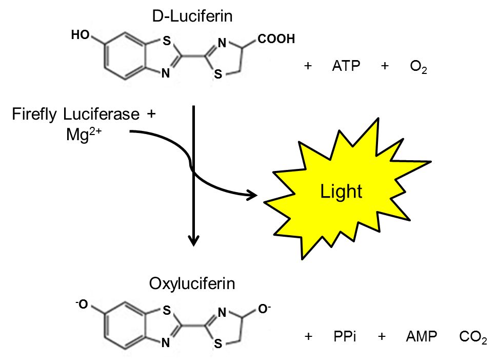 luciferase reaction